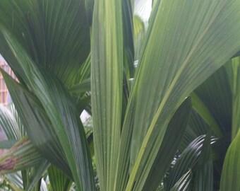 1, 2, 3 Live 3-4 Feet tall Coconut Palm Tree - 2 Gal Pot - Free Shipping