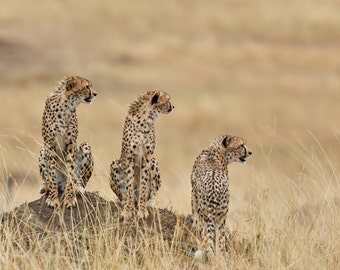 Three Cheetah on Termite Mound