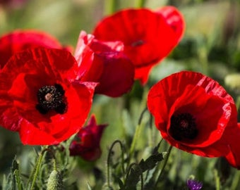 Poppy Seeds - Orientale Beauty of Livermere 150 seeds