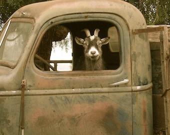 Art Print,Truck Driving Goat, Signed, 8x8 digital archival print