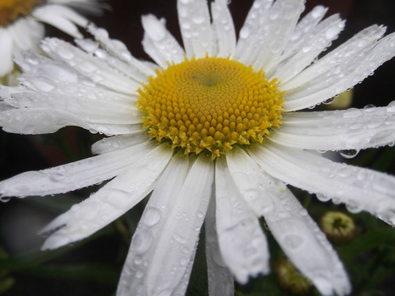 "Flower Photography,Fine Art Photography,Nature Photograph,Nature Print,Daisy Photograph, Irish Daisy in the rain 16"" x 20 """