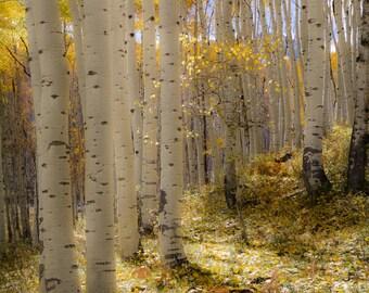 Aspen Trees, fall tree decor, Colorado art, rustic wall art, cabin decor, yellow gold leaves photo, aspens art, fall aspen art | Invitation