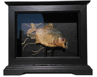 Curiosity Cabinet with Real Piranha