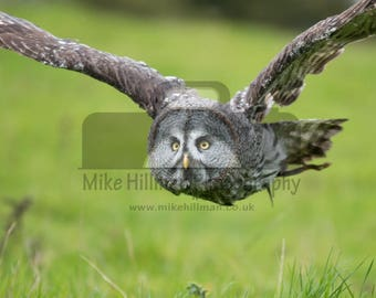 """Mounted Photographic Display Print - Great Grey Owl #2 (A4 print in 14"""" x 11"""" Mount, Unframed)"""