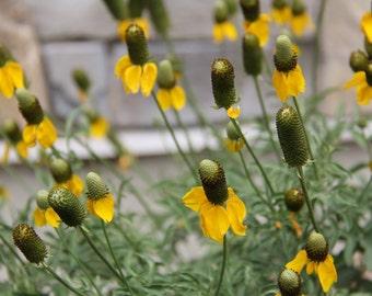 Yellow Coneflower Seeds/Ratibida columnifera//Yellow Mexican Hat Flower