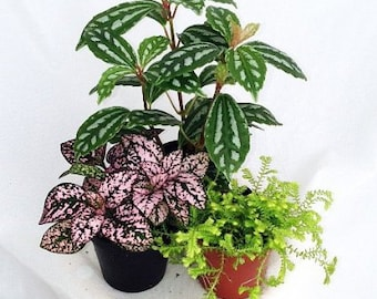 """3 Live 2 inch potted Terrarium Plants with """"FREE"""" Shipping!!!"""