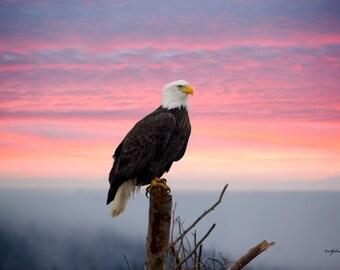 Wildlife Photography, Bald Eagle Photo Print, 8x10