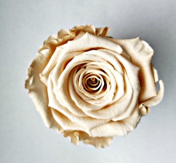 Preserved rose 6 pack, Champagne rose, Rose, Everlasting rose, Forever rose, wedding rose, engagement rose, ivory rose, wholesale rose