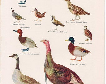 vintage game bird print from the 1930's, charming cottage, cabin or lodge decor