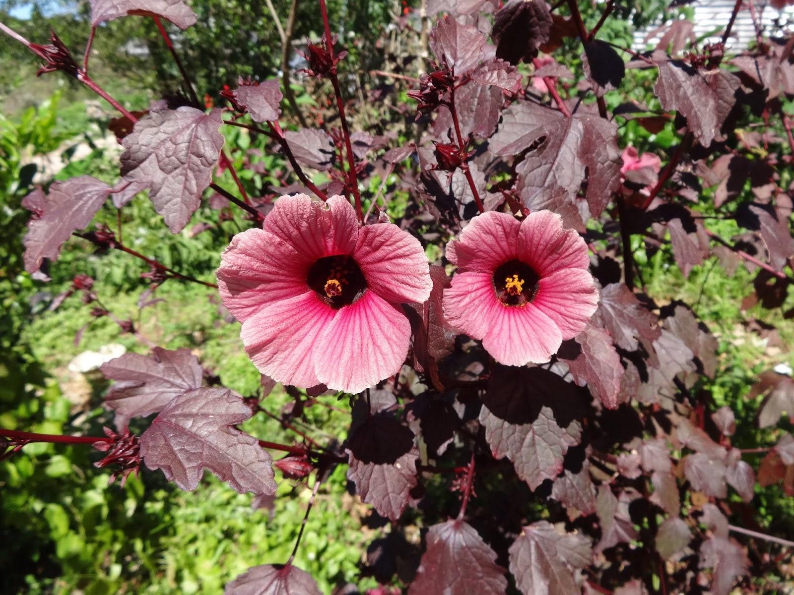 Hibiscus acetosella red shield 10 seeds zoom izmirmasajfo