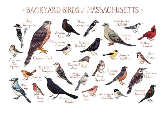 Massachusetts Backyard Birds Field Guide Art Print