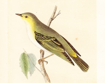 Vintage Wood Warbler Print . original old antique bird plate woodblock . vol III, dated 1853 ornithology specimen