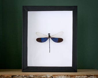 Blue dragonfly Neurobasis kaupi in museumbox