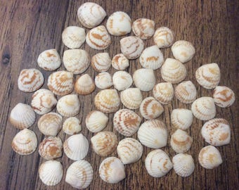 Brown and White Striped Sea Shells (50 shells)