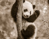 BABY PANDA Playing PHOTO,...