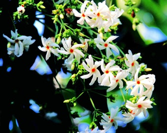 Nyctanthes arbor tristis Parijat 10 seeds FREE SHIP to U.S. Only