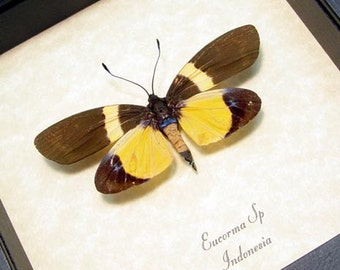 Real Framed Eucorma Sp Day Flying Moth Shadowbox Display 8246