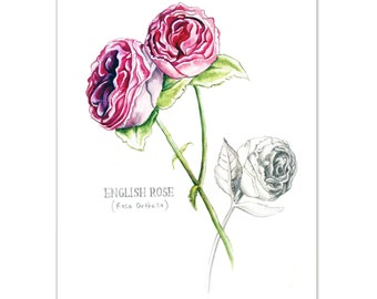 English Roses Watercolour painting - Limited edition print (100 Only)