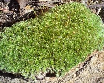 Live Fresh Cushion Moss for Terrariums, Vivarium, Fairy Gardens, Bonsai