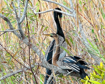 Everglades Anhingas : archival quality fine art photography, horizontal format, nature