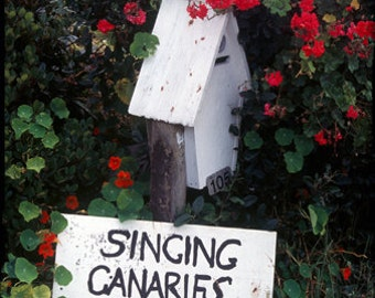 Singing Canaries for sale, Color Photograph, New Zealand, Birds, music, Islands