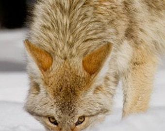 Coyote peek-a-boo