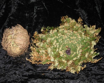 Resurrection Fern, crystal inside- Rose of Jericho, Mystical, Plant, Wiccan, Crystals,, Spiritual, Protection, Abundance