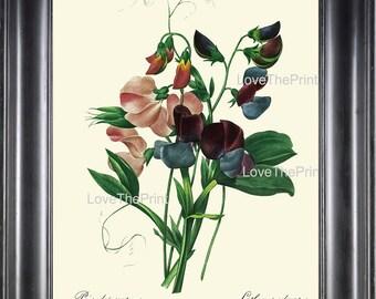 BOTANICAL PRINT Redoute Flower  Botanical Art Print 54 Sweet Pea Pink Blue Purple Plant Garden Nature to Frame