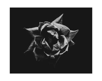 Rose 1 Fine Art