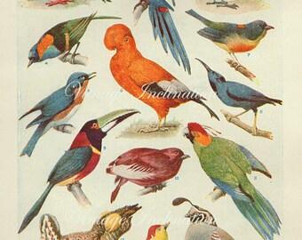 Vintage Antique 1930s Bird bookplate original lithograph art print illustration 3141 3