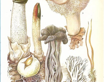 Vintage Fungi Coloured Book Plate - Phallus Impudicus ~ Stinkhorn - Ideal For Framing # 153