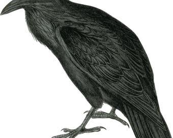 Vintage Raven Clipart in SVG, EPS, PNG