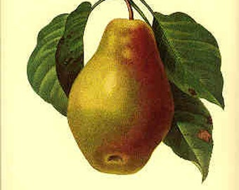 Redoute Botanical Print -  - Pear - 108