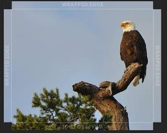 Bald Eagle Picture, Bald Eagle Thin Wrap, Bald Eagle Print, Bald Eagle Wall Art, Bald Eagle, Eagle 8x10, Eagle 8x10, Thin Prints, Eagle Art,