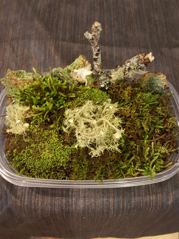 30 oz Container Full Bioactive Habitat Kit Live Living Moss Lichens River Sand Rocks Isopods Appalachian Mountains Terrarium Vivarium