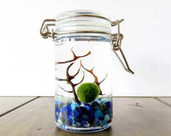 FREE SHIPPING - Tiny Jar Marimo Terrarium Kit Clear, Blue, White and Red lids, Personalized, 23 pebbles color, Moss Ball