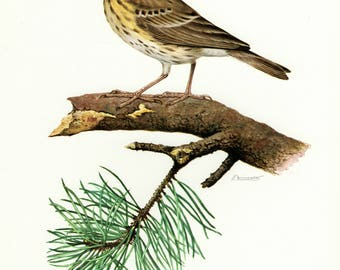 Vintage lithograph of the tree pipit from 1956