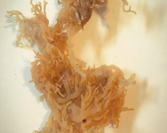 Irish Moss- Seaweed ~ Hermit Crab Food