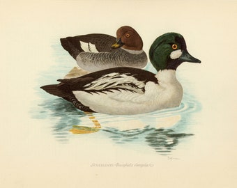 Vintage lithograph of the common goldeneye from 1953