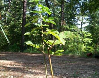 Cheyenne Thornless Blackberry Plant Nutritious Health Plants Sweet Blackberries Amino Acids Minerals Antioxidants Garden Grow Food Gardens