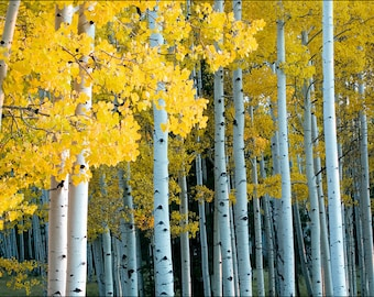 Forest of yellow Aspen trees during fall and the changing of the leaves. The colorful golden yellow foliage Aspen landscape full of color.