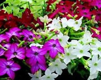 Nicotiana Fragrant Delight Mix Flower Seeds / Annual  50+