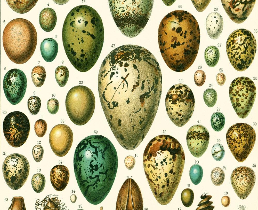 1897 Antique EGGS Print XL Larousse Easter Eggs Bird