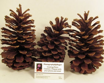 Three Extra Large Pine Cones from Florida For Your Crafting Needs 0002XLP