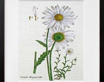 Botanical Flowers Print Vintage Daisy Art Illustration