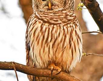 Barred Owl 4 , Charlotte, North Carolina: archival print signed and matted.