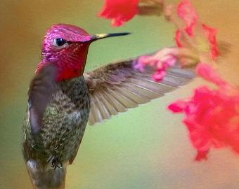 Anna's Hummingbird Image, Hummingbird in flight, Hummingbird Photo
