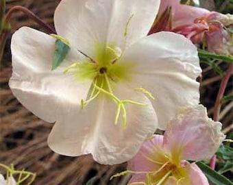 Pale Evening Primrose Flower Seeds/Oenothera Pallida/Perennial   50+