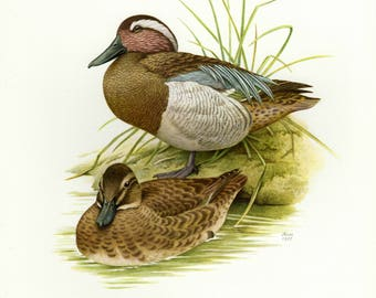 Vintage lithograph of the garganey from 1957