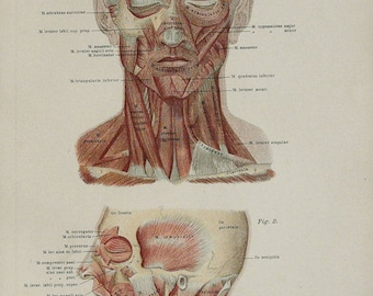 1890 Anatomical Print, Old Lithography, 127 years old